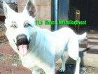 Белая собака «Призрак» для Fallout 4 вид слева