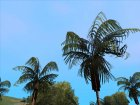 Original Palms HD Leaf Texture (Low PC) for GTA San Andreas